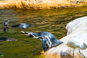 Pingüino comiendo